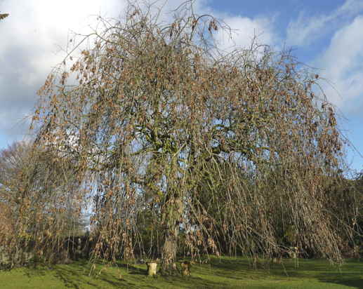 Weeping ash tree