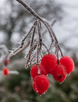 berries on a bush in winter