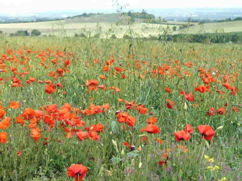Poppies and Blewburton Hill